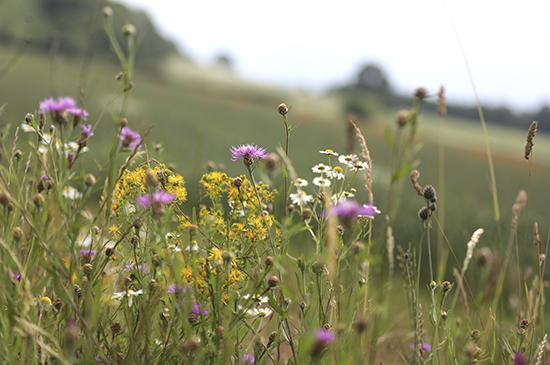 Ackerwildkräeuter-Blumen-als-Zeichen-von-Artenvielfalt