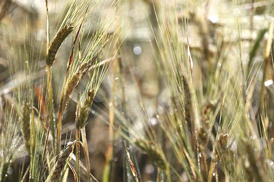 Bio-Kristall-Bio-Landwirte-Getreidefeld
